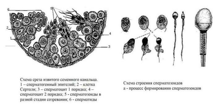 Сперматозоиды не созревают