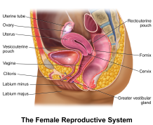 women-reproductive-system-female-reproductive-system-wikipedia-the-free-encyclopedia